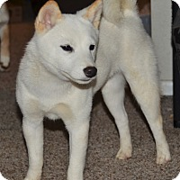 Adopt A Pet :: Yuki - Loveland, CO