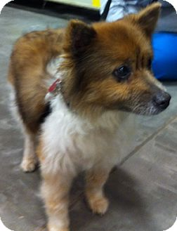 Pomeranian/Sheltie, Shetland Sheepdog Mix Dog for adoption in Loudonville, New York - Biscuit