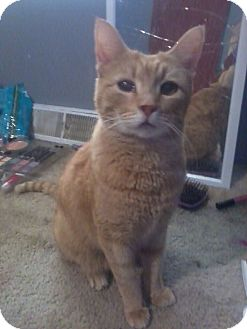Domestic Shorthair Cat for adoption in Port Republic, Maryland - Simba