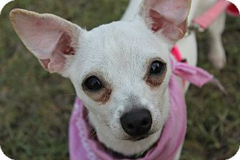 Chihuahua Dog for adoption in Baton Rouge, Louisiana - Louisa