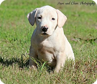 labrador retriever terrier mix jason adopted puppy norcross ga labrador retriever 7576