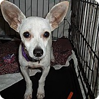 Adopt A Pet :: Little man (mini giant) - Phoenix, AZ