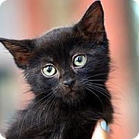 Adopt A Pet :: Boo Radley - Brooklyn, NY