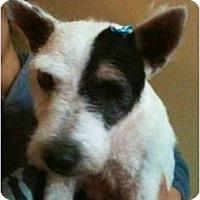 Adopt A Pet :: Savanna - Seymour, CT