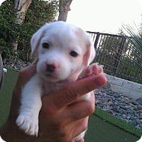 Adopt A Pet :: Crystal - Torrance, CA