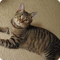 Adopt A Pet :: Snuggle - Merrifield, VA