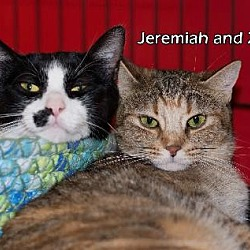 Photo 1 - Domestic Shorthair Cat for adoption in Albuquerque, New Mexico - Jeremiah
