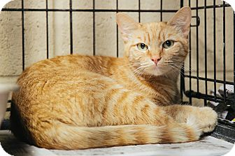 Domestic Shorthair Cat for adoption in Union, South Carolina - Lizzy