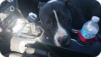 Boston Terrier/Pit Bull Terrier Mix Dog for adoption in Jacksonville Beach, Florida - Ninja