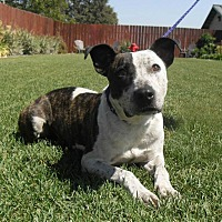 Pit Bull Terrier Mix Dog for adoption in Stockton, California - Petey