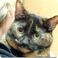 Domestic Shorthair Cat for adoption in Bloomsburg, Pennsylvania - Sadie