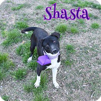 Border Collie/Labrador Retriever Mix Dog for adoption in Elburn, Illinois - Shasta