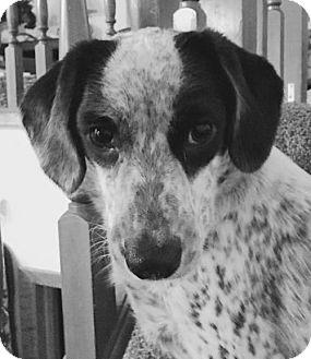 Beagle Mix Dog for adoption in Albertville, Minnesota - Hani (Turtle)