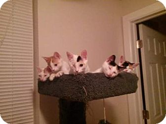 Calico Kitten for adoption in Darby, Pennsylvania - Jazmine