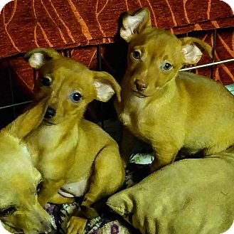 Chihuahua Mix Puppy for adoption in Henderson, Nevada - Anthony