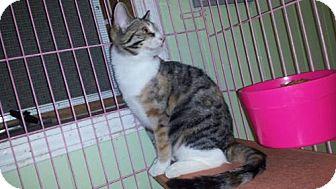 Calico Kitten for adoption in Iroquois, Illinois - Ophelia