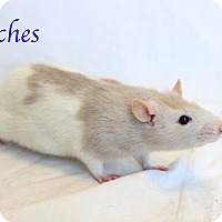 Adopt A Pet :: Patches - Bradenton, FL