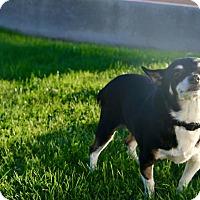 Adopt A Pet :: TINSEL - Phoenix, AZ