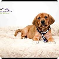 Adopt A Pet :: Clark - Richardson, TX