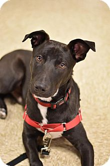 Border Collie/Labrador Retriever Mix Dog for adoption in Frisco, Texas - Snoopy