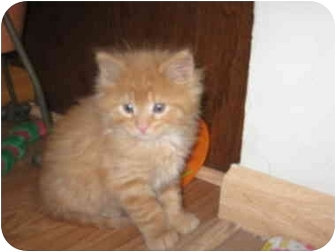 Domestic Longhair Kitten for adoption in Loveland, Colorado - Muffin