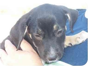 Shepherd (Unknown Type) Mix Puppy for adoption in Mesa, Arizona - Wiggles