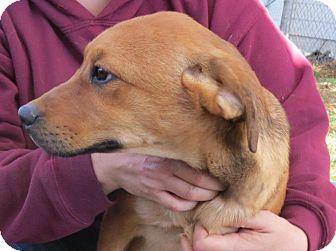 Labrador Retriever/Basset Hound Mix Puppy for adoption in ...
