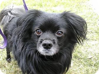 Japanese Chin/Pomeranian Mix Dog for adoption in Toronto, Ontario - Oakley
