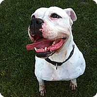 American Bulldog Mix Dog for adoption in Temecula, California - Buffy-Watch my Video!