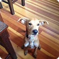 Adopt A Pet :: Kirby - Torrance, CA