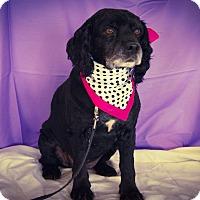 Adopt A Pet :: Brenda Bear - Princeton, KY