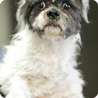 Adopt A Pet :: Wicket - NON SHED - Phoenix, AZ