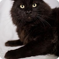 Adopt A Pet :: New Kitty- Courtesy Post - St. Louis, MO