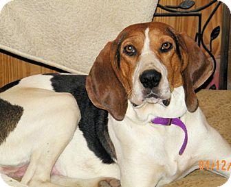 Treeing Walker Coonhound Mix Dog for adoption in Cleveland, Ohio - Venus