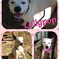 Adopt A Pet :: Lolypop--in NH! - Chichester, NH