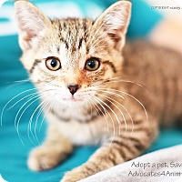 Adopt A Pet :: Bree - Xenia, OH