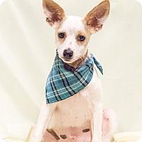 Miniature Pinscher/Chihuahua Mix Puppy for adoption in Chandler, Arizona - Stryker