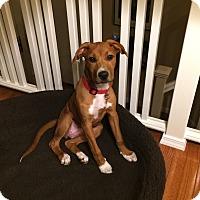 Adopt A Pet :: Summer - Baltimore, MD