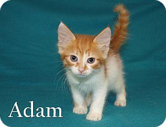 Domestic Longhair Kitten for adoption in Jackson, Mississippi - Adam