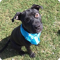 Pit Bull Terrier Mix Dog for adoption in Greensboro, North Carolina - Bronco