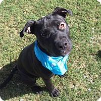 Adopt A Pet :: Bronco - Greensboro, NC
