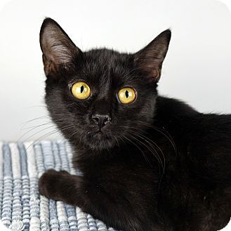 Domestic Shorthair Kitten for adoption in Columbia, Illinois - Shirley