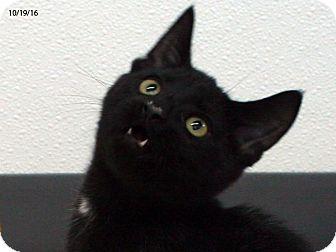Domestic Shorthair Kitten for adoption in Republic, Washington - Dopey