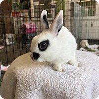 Dwarf Hotot Mix for adoption in Los Angeles, California - Brandon