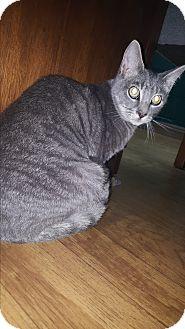 Russian Blue Kitten for adoption in Albemarle, North Carolina - Richard Nixon