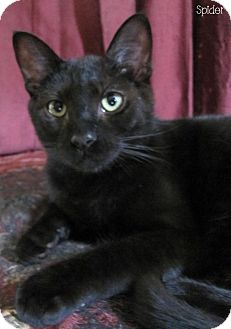 Domestic Shorthair Cat for adoption in Covington, Kentucky - Spider
