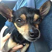 Adopt A Pet :: Tiny - Encino, CA
