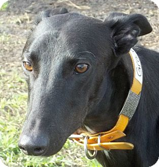 Greyhound Dog for adoption in Longwood, Florida - Gradys Dogwood