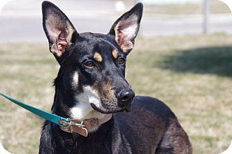 Doberman Pinscher/Shiba Inu Mix Dog for adoption in Elyria, Ohio - Benji-PWP DOG