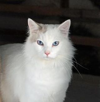 Oriental Cat for adoption in Alamogordo, New Mexico - FROSTHEART